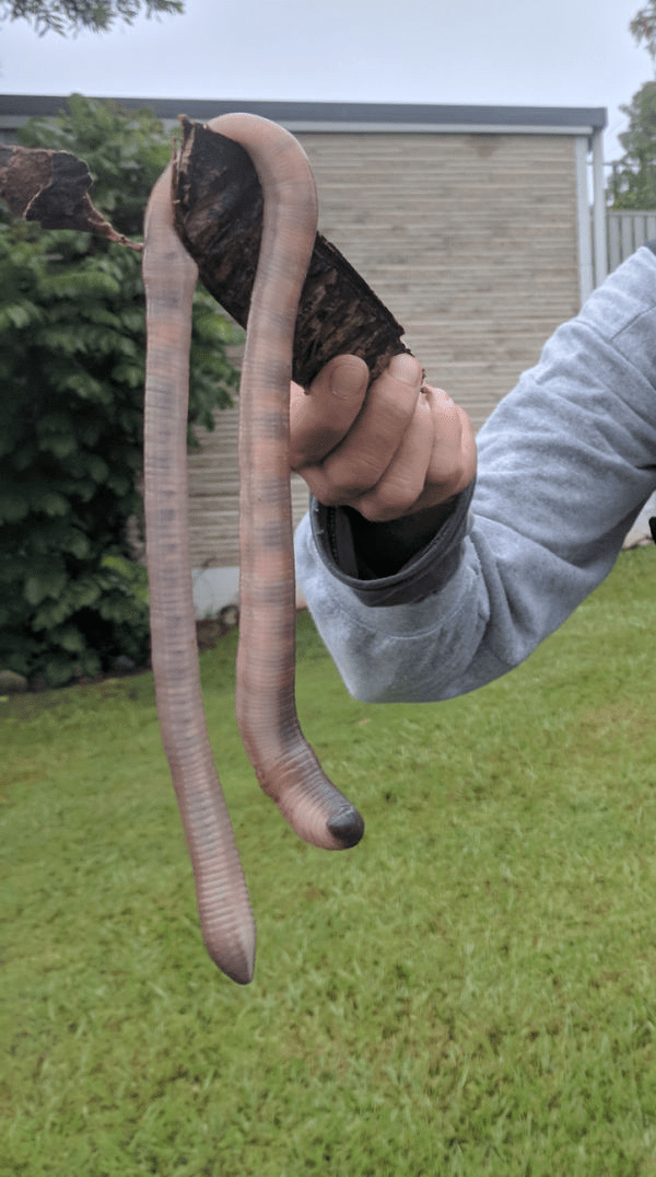 giant earthworm scary animals in Australia