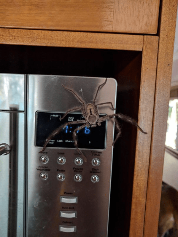 i won't cook with this spider today scary animals in Australia