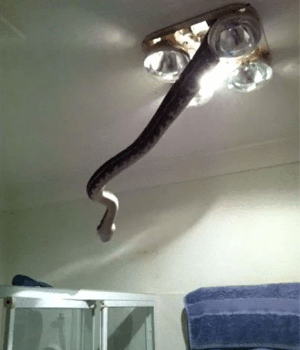 snake coming out of ceiling lamp scary animals in Australia