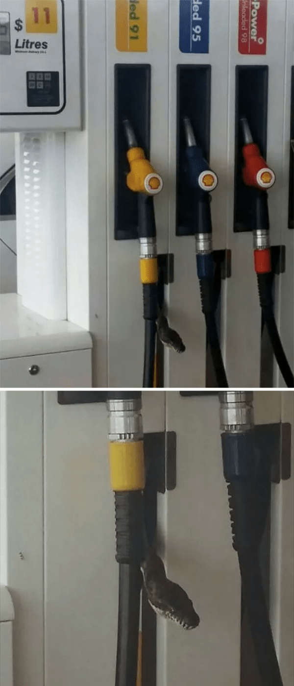 snake in fuel station scary animals in Australia