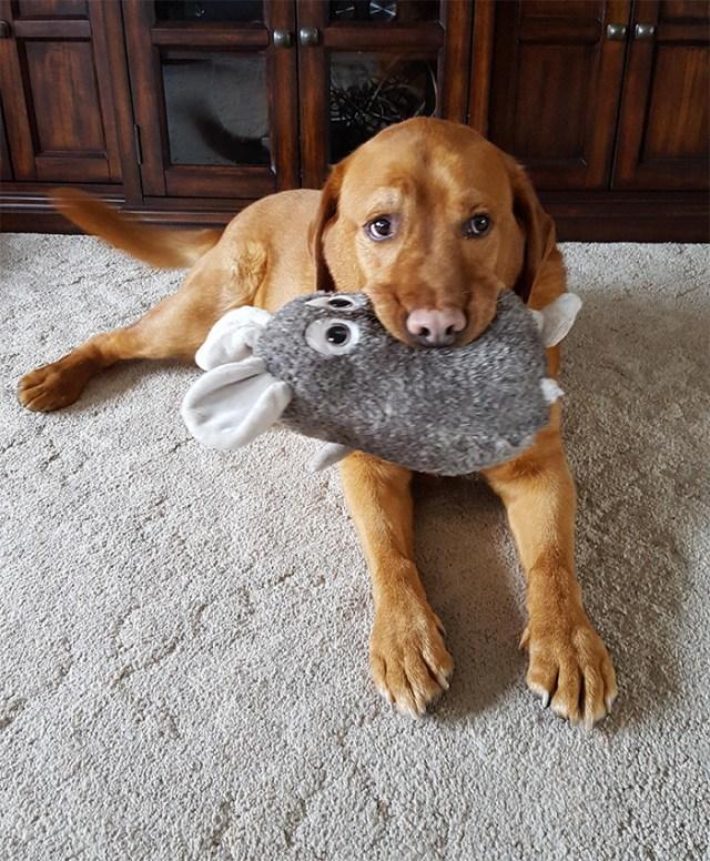 dog shows off plushy