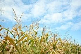 Ask a Michigander: Where are the best corn mazes?