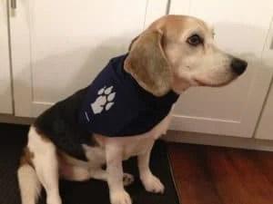 Martin the Beagle. Photo Courtesy of Jennifer Hamilton