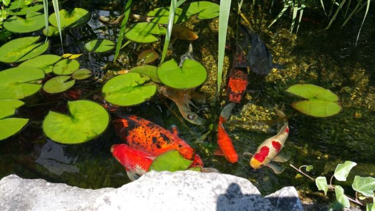 Koi Pond at Victoria Resort Bed & Breakfast - #MittenTrip - South Haven - The Awesome Mitten