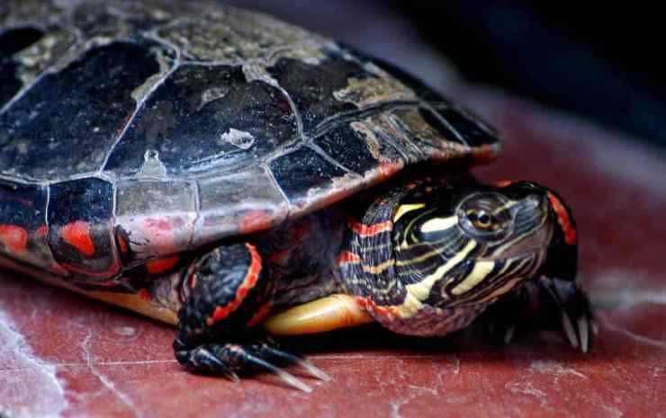 A painted turtle at the Seven Ponds Nature Center in Dryden. Photo courtesy of LeeAnn McLaneGoetz