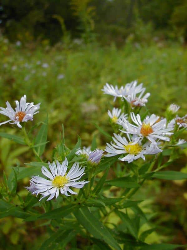 Michigan Wildflowers - The Awesome Mitten