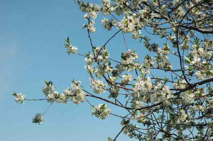 Your Guide To Enjoying Traverse City's Cherry Blossoms - The Awesome Mitten
