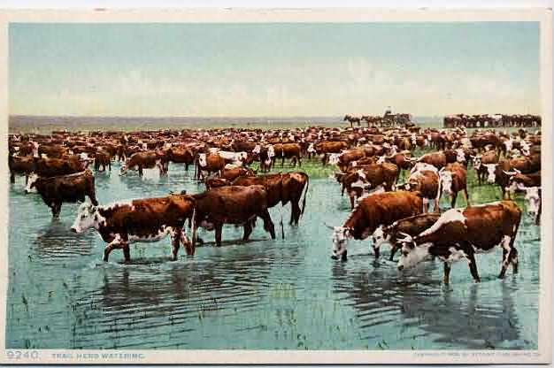 Cowboys Water The Herd In A Cattle Drive