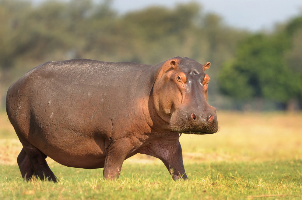 Image result for hippo pictures