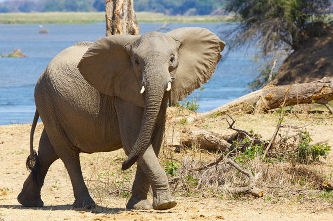 Elephant with small tusks