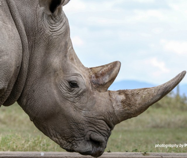 Close Up Photo Of Adult Rhino In Tsavo Conservation Area In Kenya