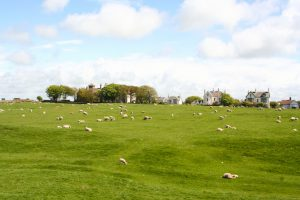 Afb. 5. De schapen grazen op de resten van het fort bij Maryport.