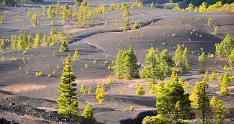 Some pine trees at the dunes of Pinar del Pilar, La Palma.