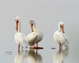 American White Pelicans Preening - Romantic Places to Visit in Box Elder County - A World to Travel