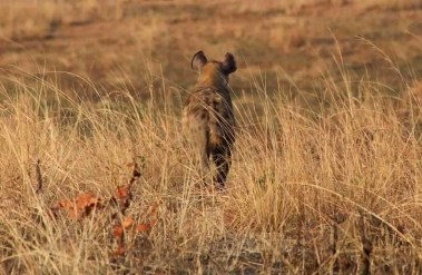 Hyena - Best National Parks And Uganda Safaris - A World to Travel