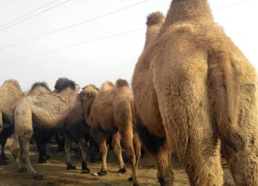 Khashgar Camels - China - Silk Road Travel - A Central Asia Overland Trip - A World to Travel