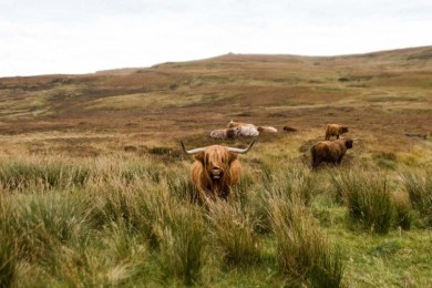 Scottish cows in Isle of Skye - Fun Things To Do In Scotland - A World to Travel