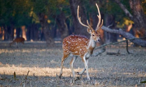 Deer in Sundarbans - Places to visit in Bangladesh - A World to Travel