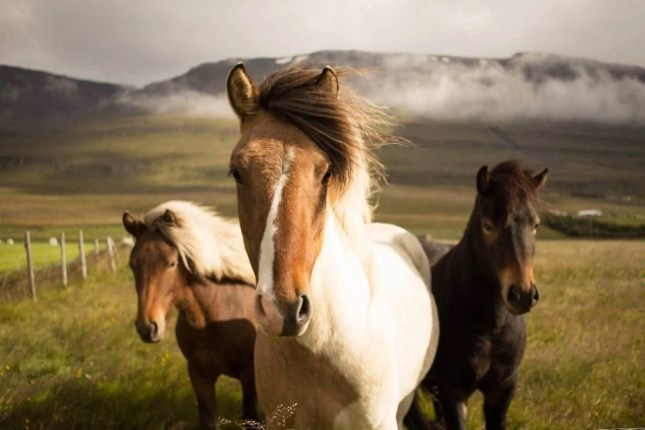 Icelandic horses - Getting lost in Iceland - A World to Travel
