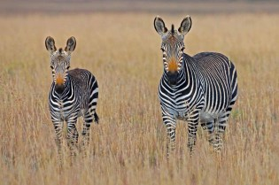 Zebras - South Africa safaris - A World to Travel