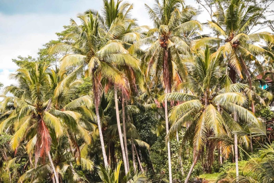 Palm trees - Ubud pictures - A World to Travel