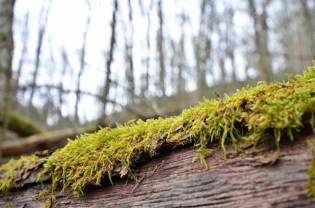 Moss in Luxembourg's Escapardenne Lee Trail