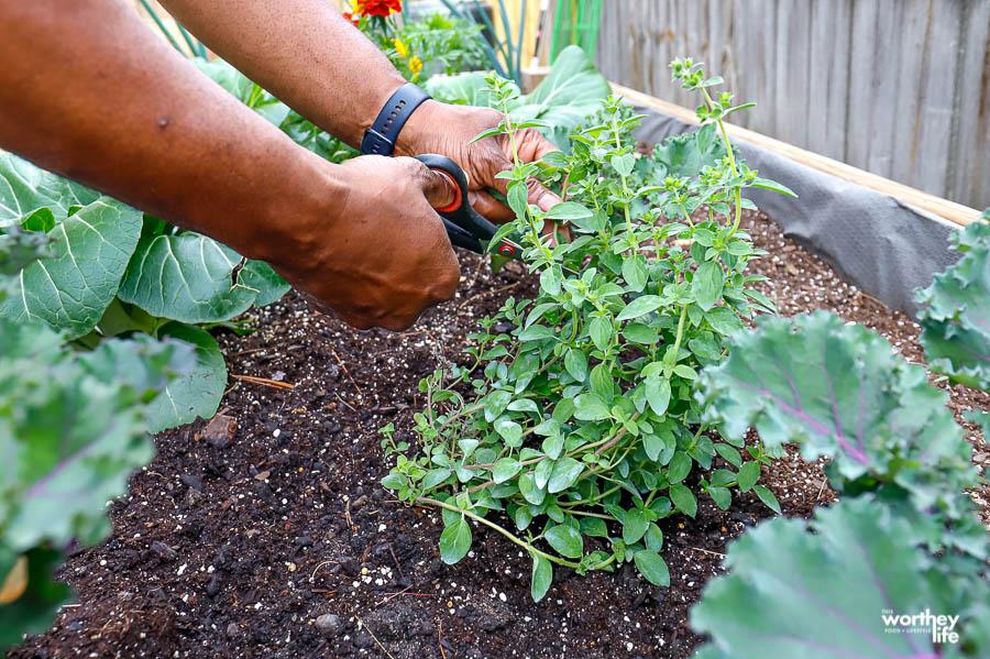 cutting fresh herbs from garden