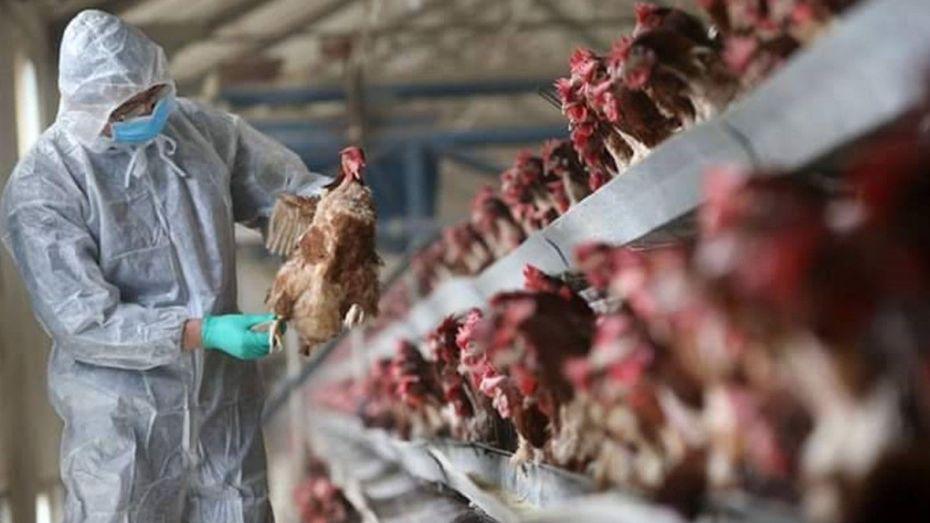 عودة إنفلونزا الطيور بقوة