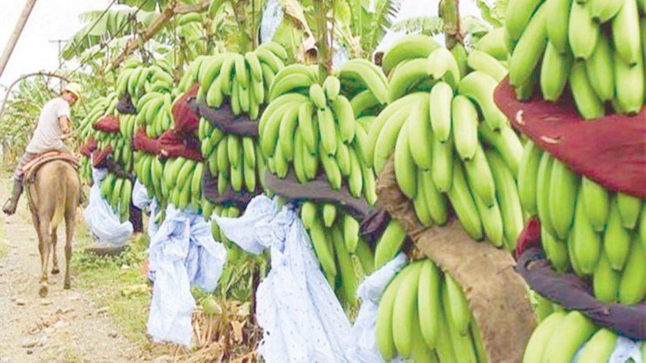 الجزائر تلجأ إلى زراعة الموز لمواجهة العجز التجاري