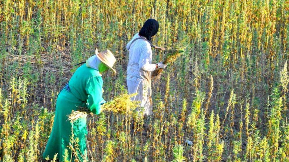رغم معارضة الحزب الحاكم.. البرلمان المغربي يقنّن زراعة القنب الهندي