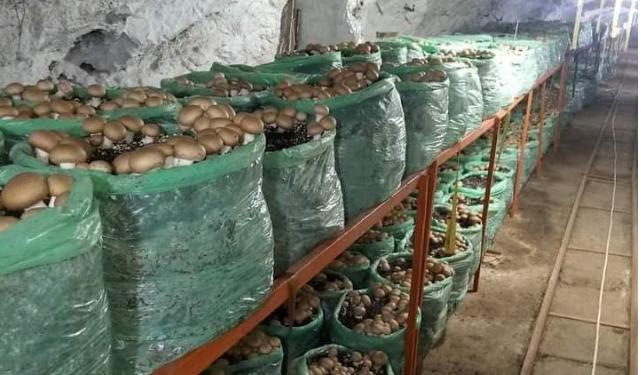 مستثمر خاص يستغل منجم حديد قديم لإنتاج الفطر الباريسي في الجزائر