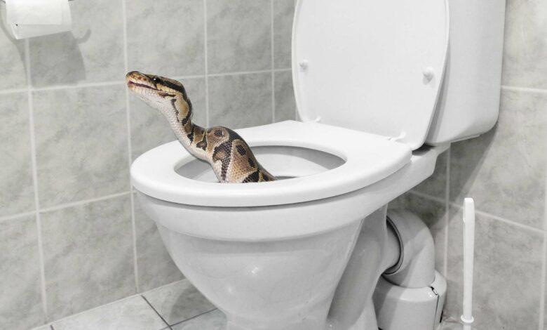 بالفيديو.. ثعبان ضخم يلدغ رجلا جالسا على مقعد المرحاض