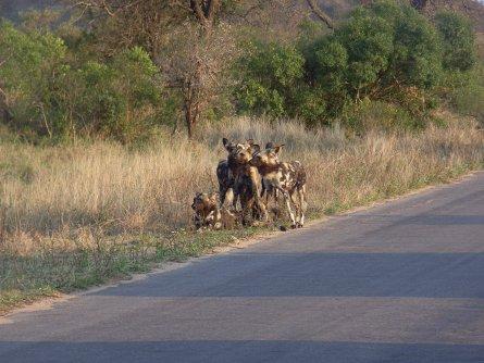 Wilddogs Krüger Park - Südafrika