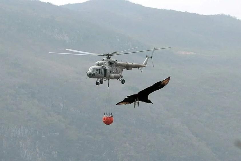 Helicóptero de la Marina de México transporta agua para combatir un incendio forestal mientras un ave de rapiña flanquea el MI-17. Foto: Gobierno de México