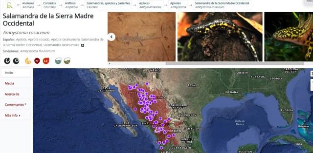 Habitad de la salamandra o ajolote de la Sierra Madre Occidental de México - Ambystoma rosaceum