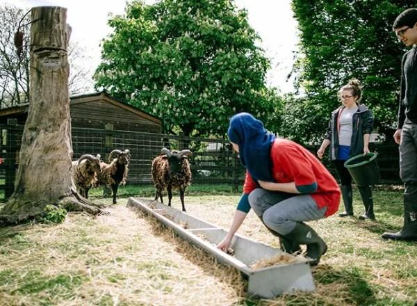 A lady feeds a sheep at Stepney City Farm