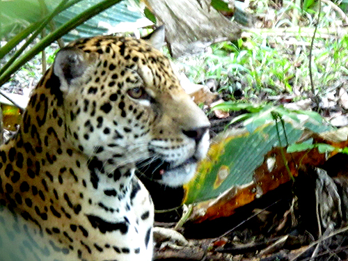 Cats-Claw-Jaguar-001_photo-by-Morgan-Maher