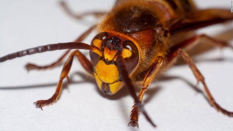 【アメリカ人】「こっちに来ないで~!」コロナに続き殺人バチ「オオスズメバチ」がアメリカに上陸しアメリカ人が大騒ぎ!