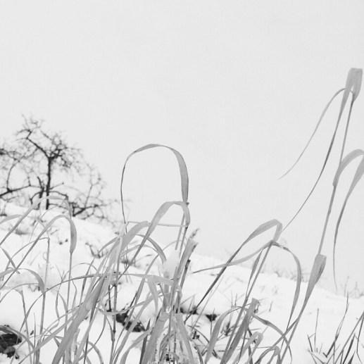 Hill Havlin in Zbraslav - detail grass in snow