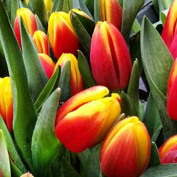 Naplavka_tulips