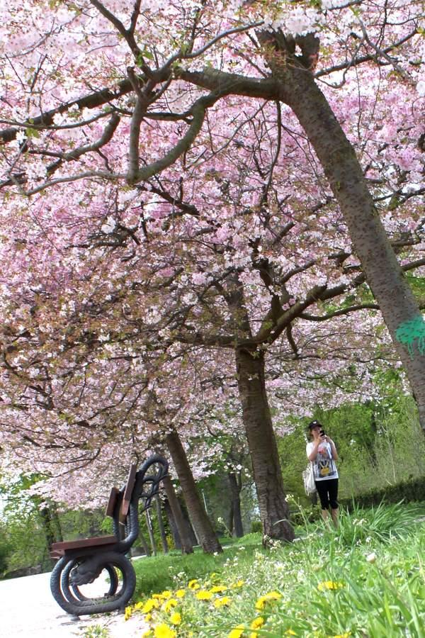 RadkaZimova_Cherry_trees_inblossom_Stromovka