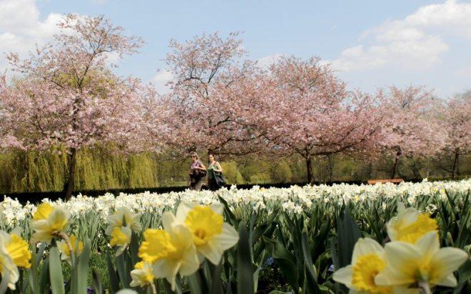 Daffodils and Cherry trees in StromovkaPark_Prague