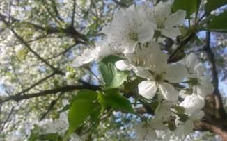 RadkaZimova_White_Blossoms_StromovkaPark
