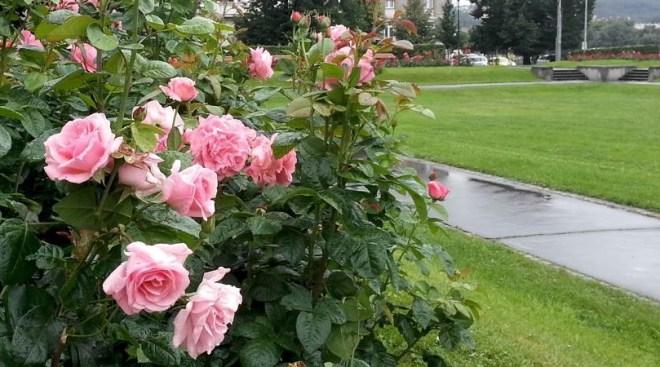 RadkaZKing_Pink_Roses_Palackeho_Prague
