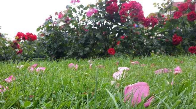 RadkaZKing_Roses_Petals_Prague
