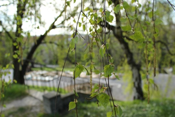Willow_tree_young_leaves