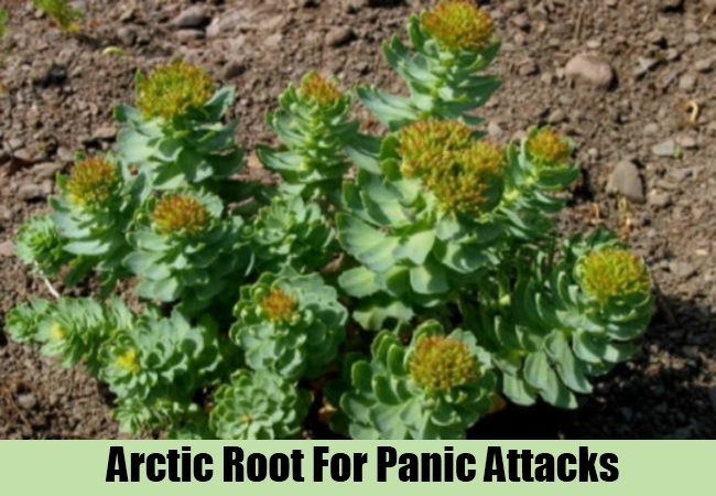 Arctic Root For Panic Attacks