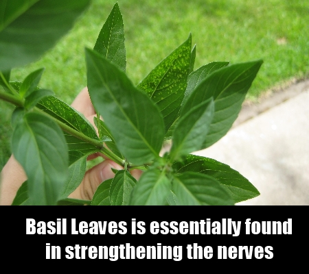 Basil Leaves For Nerves