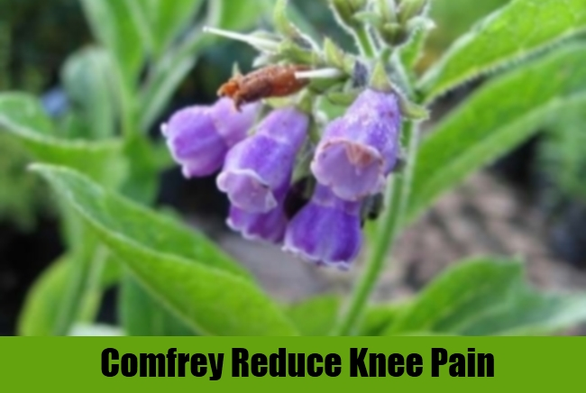 Comfrey Reduce Knee Pain