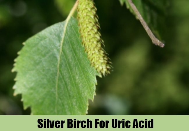 Silver Birch For Uric Acid
